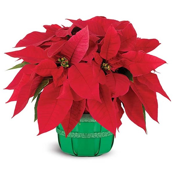 Holiday poinsettia basket of flowers