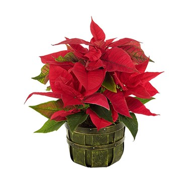Traditional holiday poinsettia flower bouquet for sale
